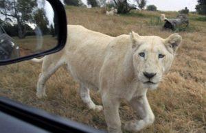 лъв плаши туристи