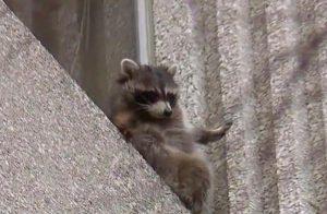 Raccoon-rescued-
