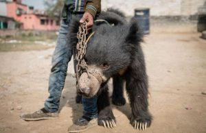 dancing-bear_nepal
