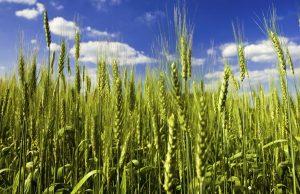 житото