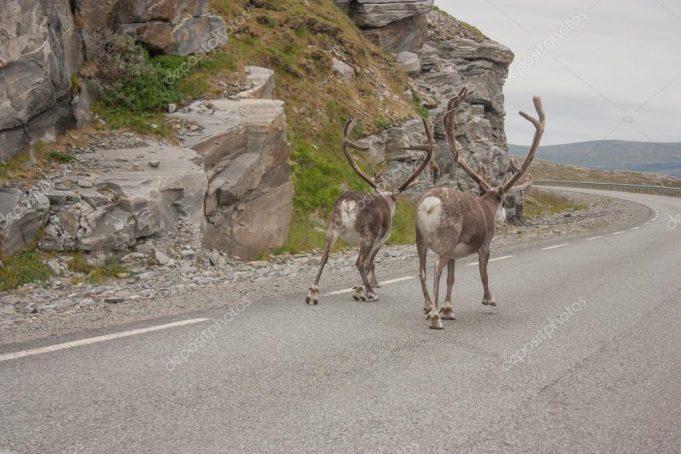deer-in-norway