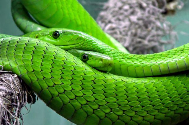 зелена мамба