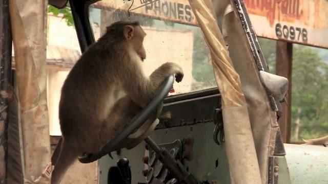Шофьор, маймуна