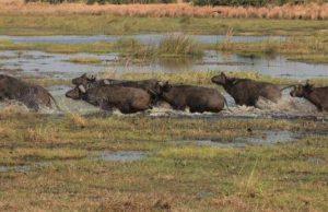 африкански биволи