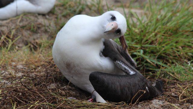 Прица, албатрос, Уиздъм