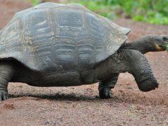 галапагоските костенурки