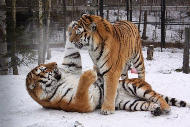 Сибирски тигри