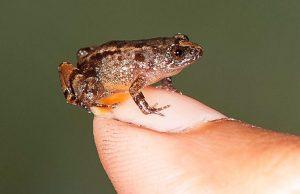 жаба,