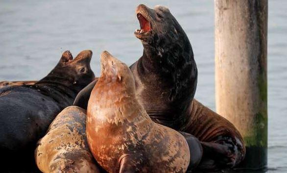морски лъвове