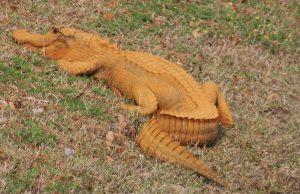 оранжеви алигатори