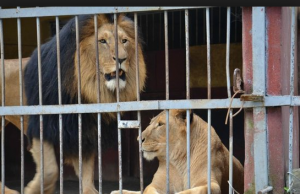 лъвове, зоопарк