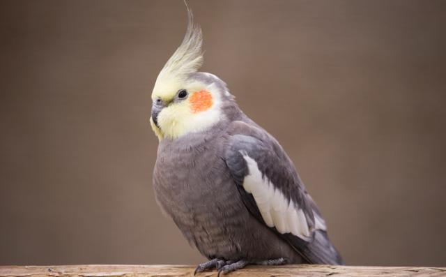 папагал, корела