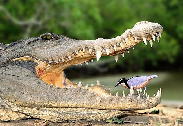 крокодили, птици