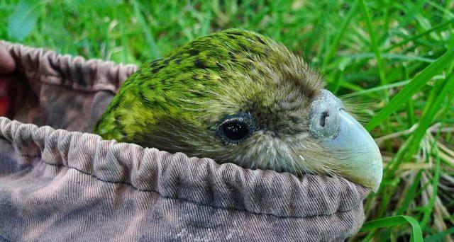 папагал, какапо