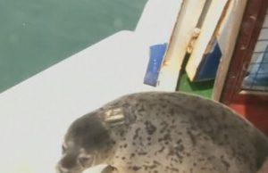 петнист тюлен