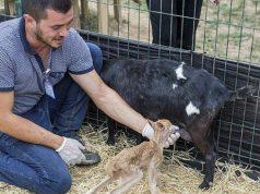 Еленче суче от коза в истанбулски зоопарк