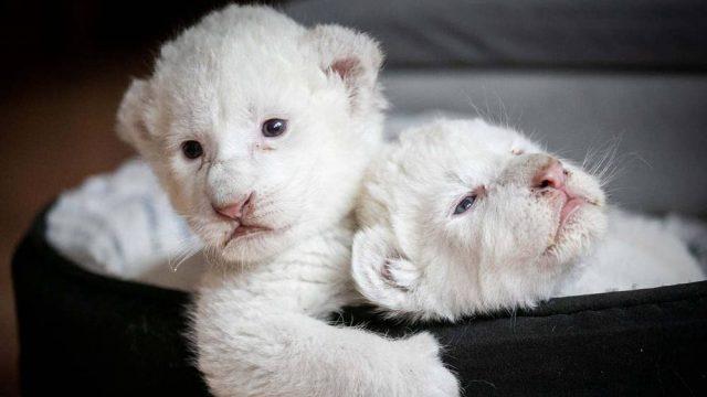Две бели лъвчета се родиха във Франция