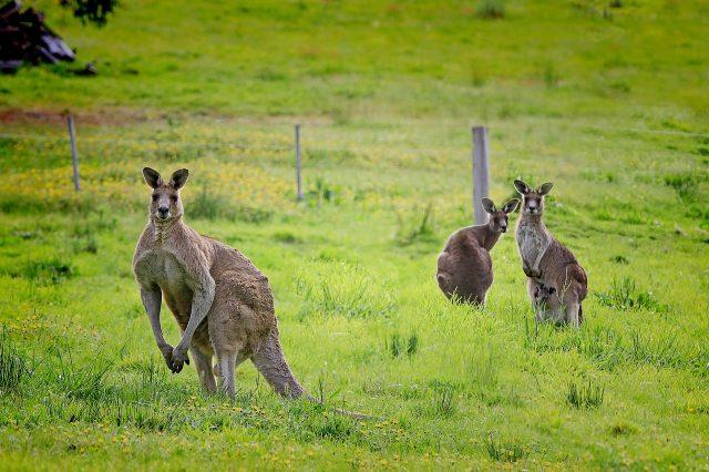 Тийнейджър уби с колата си 20 кенгурута