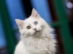 котка, Ван