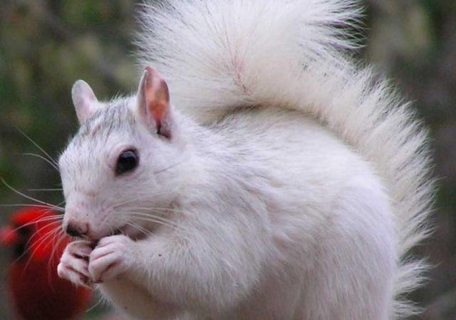 бяла катеричка