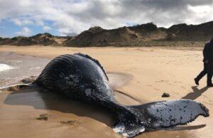мъртъв кит